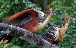 Гоацин — самая вонючая птица в мире