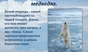 Интересные факты о белом медведе