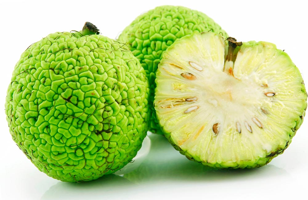 Плоды маклюры адамово яблоко свойства